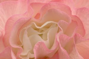 Rosy Begonia I by Rita Crane