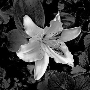 White Lily I by Rita Crane