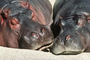 River Hippopotamus, Two Sleeping Together