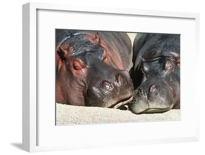 River Hippopotamus, Two Sleeping Together