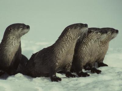 River Otter Family, Montana-Michael S^ Quinton-Photographic Print