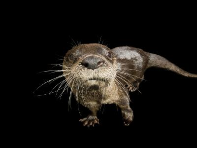River Otter, Lontra Canadensis-Joel Sartore-Photographic Print