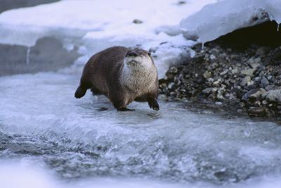 River Otter on Icy Riverbank-DLILLC-Photographic Print