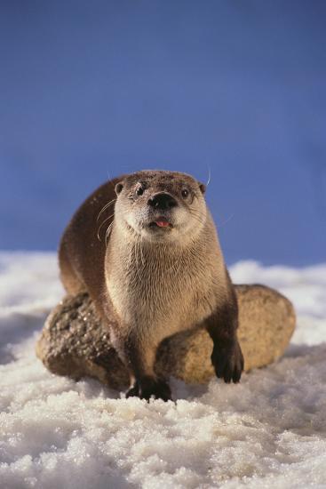 River Otter-DLILLC-Photographic Print