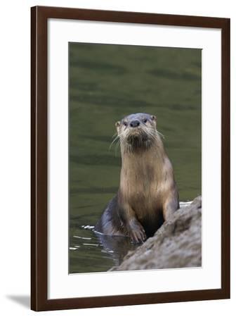 River Otter-Ken Archer-Framed Photographic Print