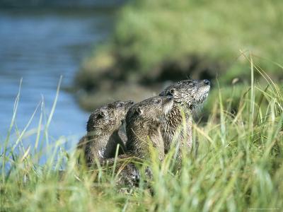 River Otters, Yellowstone Lake-Norbert Rosing-Photographic Print