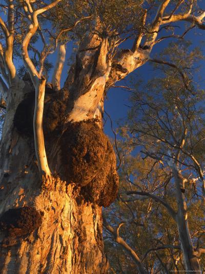 River Red Gum Tree, Hattah-Kulkyne National Park, Victoria, Australia, Pacific-Jochen Schlenker-Photographic Print