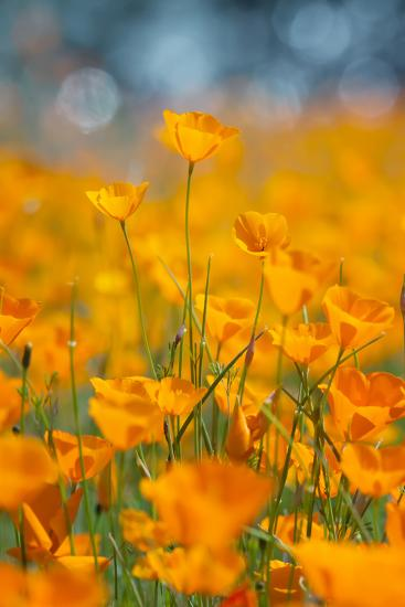 Riverside Poppies-Vincent James-Photographic Print