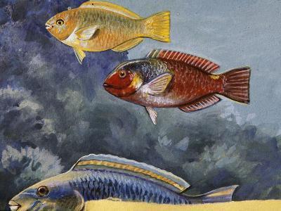 Rivulated Parrotfish or Tattooed Parrotfish (Scarus Rivulatus or Callyodon Fasciatus), Scaridae--Giclee Print