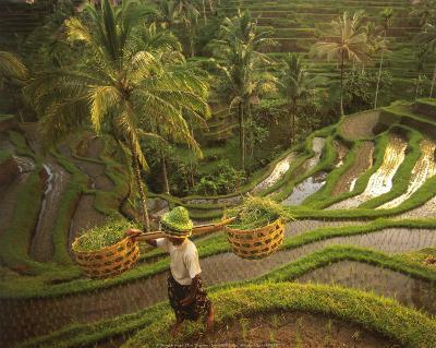 Riziere-Bali-Diagentur-Art Print