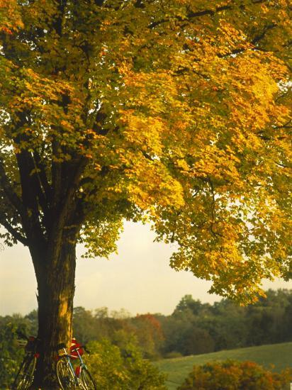 Road Bikes Leaning Against Maple Tree-Robert Houser-Photographic Print