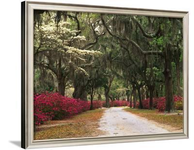 Road Lined with Azaleas and Live Oaks, Spanish Moss, Savannah, Georgia, USA-Adam Jones-Framed Photographic Print