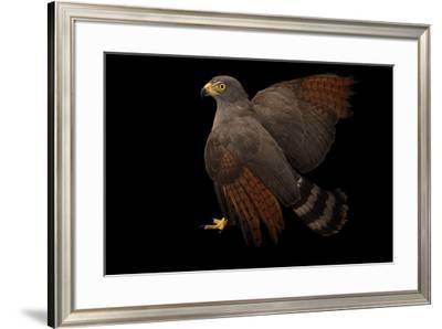 Roadside hawk, Buteo magnirostris magnirostris, at Cafam Zoo.-Joel Sartore-Framed Photographic Print