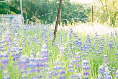 Roadside Lupine Wildflowers in Spring-Vincent James-Photographic Print