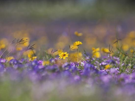 Roadside Wildflowers, Texas, USA-Larry Ditto-Photographic Print