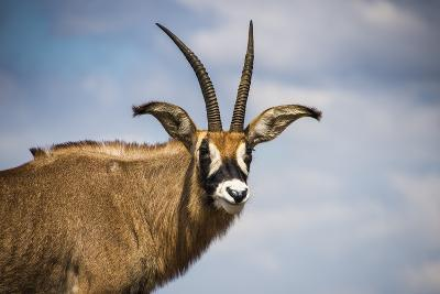 Roan Antelope (Hippotragus Equinus), Nyika National Park, Malawi, Africa-Michael Runkel-Photographic Print