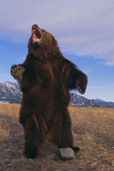 Roaring Grizzly Bear-DLILLC-Photographic Print