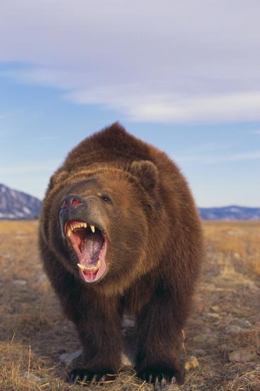 Roaring Grizzly-DLILLC-Photographic Print