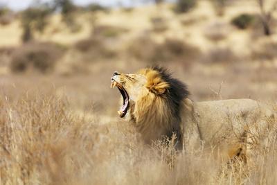 https://imgc.artprintimages.com/img/print/roaring-lion-kgalagadi-transfrontier-park-kalahari-northern-cape-south-africa-africa_u-l-q1boen20.jpg?p=0