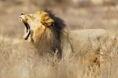 https://imgc.artprintimages.com/img/print/roaring-lion-kgalagadi-transfrontier-park-kalahari-northern-cape-south-africa-africa_u-l-q1bofvg0.jpg?p=0