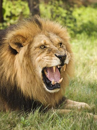 Roaring Lion-Martin Harvey-Photographic Print