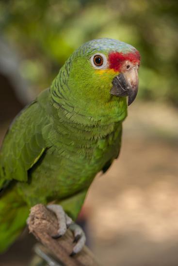 Roatan Butterfly Garden, Red Lored Parrot, Tropical Bird, Honduras-Jim Engelbrecht-Photographic Print