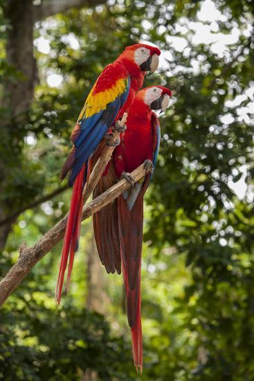 Roatan Butterfly Garden, Scarlet Macaw, Parrot, Tropical Bird, Honduras-Jim Engelbrecht-Photographic Print