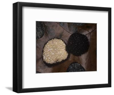 A Black Truffle (Tuber Melanosporum), Appalachian Mountains, North Carolina, USA