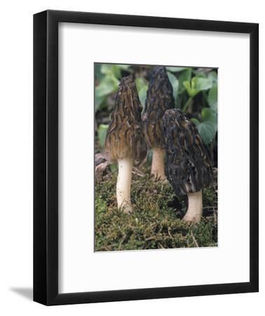 Black Morel Mushroom (Morchella Conica), Ascomycetes, North America
