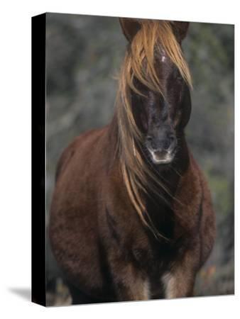 Chincoteague Pony Face, Assateague National Wildlife Refuge, Maryland, USA