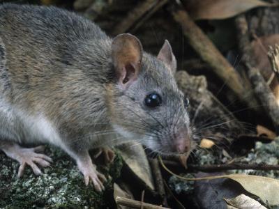 Key Largo Wood Rat or Packrat (Neotoma Floridana Smalli), an Endangered Species, Florida, USA by Rob & Ann Simpson