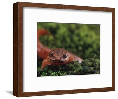Northern Red Salamander (Pseudotriton Ruber), Eastern North America