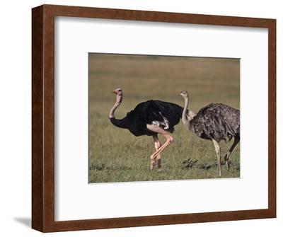 Ostrich Pair (Struthio Camelus Massaicus), Masai Mara Game Reserve, Kenya, Africa