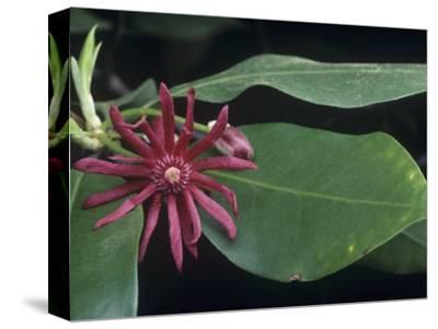 Star Anise (Illicium Floridanum), Southern USA