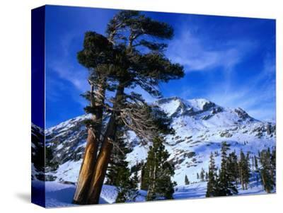 Ancient Limber Pines with Snowy Mountain Behind Sequoia National Park, California, USA