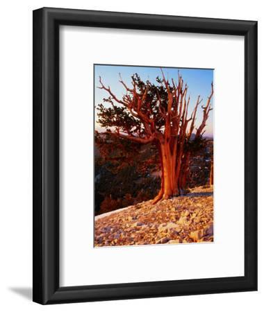 Bristlecone Pine in the White Mountains, eastern California
