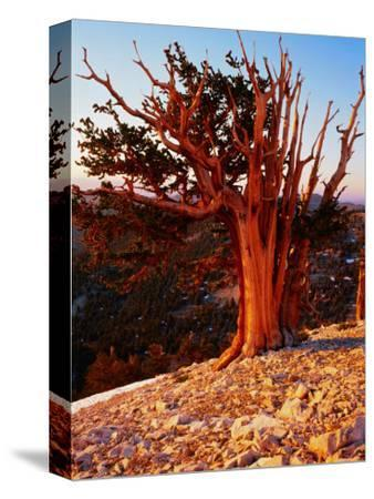 Bristlecone Pine in the White Mountains, eastern California