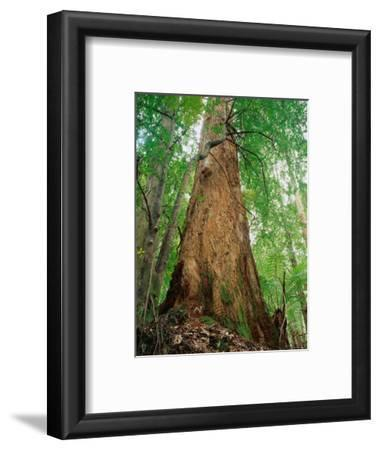 Eucalypt and Sassafras Trees Tarkine, Tasmania, Australia