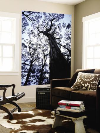 Eucalypt Trees from Below in Southeast Tasmania
