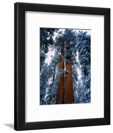 Giant Sequoia Tree Sequoia National Park, California, USA