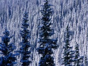 Pine Forest on Hillside Aspen, Colorado, USA by Rob Blakers