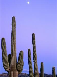 Saguaro Cacti (Carnegiea Gigantea) and High Full Moon Superstition Mountains, Arizona, USA by Rob Blakers