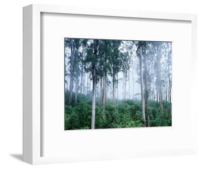 Wielangta Forest in Mist