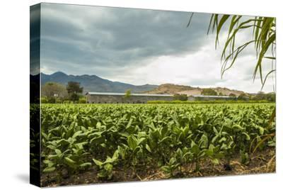 Field of Tobacco Plants in an Important Growing Region in the North West