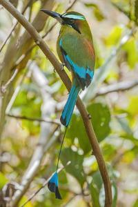 Guardabarranco (Turquoise-Browed Motmot) by Rob Francis
