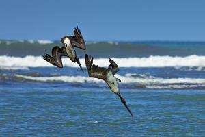 Pair of Brown Pelicans (Pelecanus Occidentalis) Dive for Fish at the Nosara River Mouth by Rob Francis
