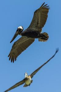 Pelicans Fishing at Cabo Blanco Beach and Nature Reserve, Puntarenas by Rob Francis