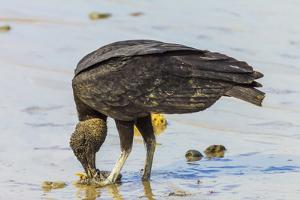 South American Black Vulture Eating Dead Fish on a Popular Beach, Puntarenas, Costa Rica by Rob Francis