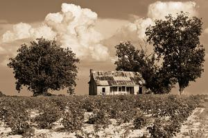 Rustic Shack in Middle of Cotton Field in Southern Alabama by Rob Hainer