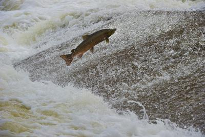Atlantic Salmon (Salmo Salar) Leaping Up the Cauld at Philphaugh Centre Near Selkirk, Scotland, UK